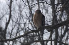 A red-shouldered hawk in Wayland, photographed by David Hirzel.