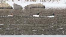 Common mergansers on the Sudbury Reservoir in Southborough, photographed by Steve Forman.