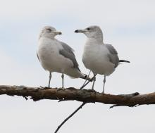 Ring-billed gulls at Hager Pond in Marlborough, photographed by Steve Forman.