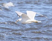 A ring-billed gull at Lake Chauncy in Westborough, photographed by Steve Forman.