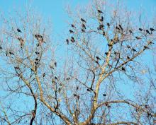 Red-winged blackbirds in Harvard, photographed by Robin Right.