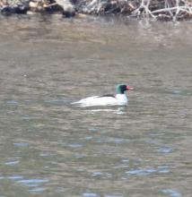A common merganser on the Sudbury Reservoir in Southborough, photographed by Steve Forman.
