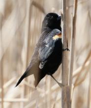 A red-winged blackbird at Great Meadows in Concord, photographed by Steve Forman.