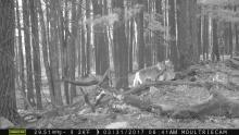 A coyote in Bolton, photographed with an automatically triggered wildlife camera by Steve Cumming.