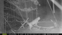 A bobcat in Bolton, photographed with an automatically triggered wildlife camera by Steve Cumming.