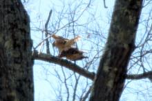 Red-shouldered hawks in Wayland, photographed by Lynne Lipcon.