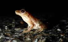 A spring peeper in Framingham, photographed by Dawn Dentzer.