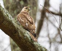 A red-tailed hawk in Lincoln, photographed by Hank Poydar.