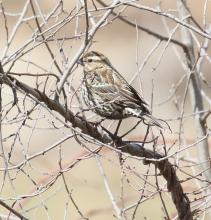 A female red-winged blackbird at Breakneck Hill Conservation Land in Southborough, photographed by Steve Forman.