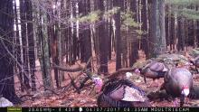 Turkeys in Bolton, photographed with an automatically triggered wildlife camera by Steve Cumming.