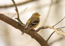 An American goldfinch in Sudbury, photographed by Dan Trippe.