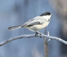 A black-capped chickadee at Waseeka Wildlife Sanctuary in Hopkinton, photographed by Steve Forman.