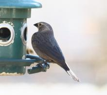 A brown-headed cowbird in Sudbury, photographed by Dan Trippe.