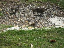 A chipping sparrow (center) and brown-headed cowbirds in Stow.