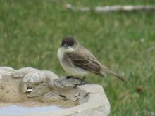 An eastern phoebe in Stow.