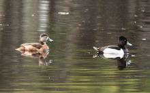 A pair of ring-necked ducks in Sudbury, photographed by Dan Trippe.