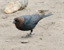A brown-headed cowbird at Hager Pond in Marlborough, photographed by Steve Forman.