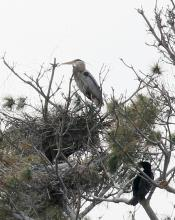 A great blue heron and a double-crested cormorant at the Sudbury Reservoir in Southborough, photographed by Steve Forman.