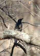 A common grackle at Great Meadows National Wildlife Refuge in Concord, photographed by Lynne Lipcon.