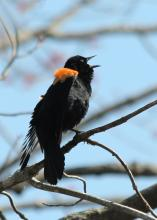 A red-winged blackbird at Great Meadows National Wildlife Refuge in Concord, photographed by Lynne Lipcon.