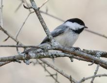 A black-capped chickadee at Mass Audubon's Drumlin Farm Wildlife Sanctuary in Lincoln, photographed by Steve Forman.