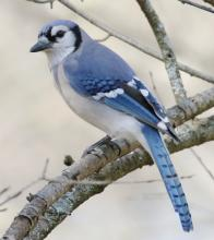 A blue jay at Mass Audubon's Drumlin Farm Wildlife Sanctuary in Lincoln, photographed by Steve Forman.