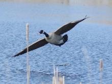 A Canada goose at Great Meadows National Wildlife Refuge in Concord, photographed by Steve Forman.