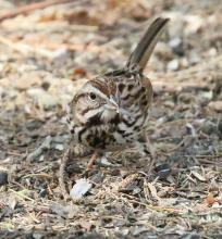 A song sparrow at Mass Audubon's Drumlin Farm Wildlife Sanctuary in Lincoln, photographed by Steve Forman.