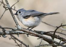 A tufted titmouse at Mass Audubon's Drumlin Farm Wildlife Sanctuary in Lincoln, photographed by Steve Forman.