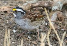 A white-throated sparrow at Mass Audubon's Drumlin Farm Wildlife Sanctuary in Lincoln, photographed by Steve Forman.