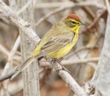 A palm warbler at Hager Pond in Marlborough, photographed by Steve Forman.