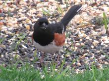 An eastern towhee in Stow.