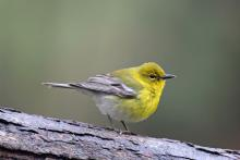 A pine warbler in Sudbury, photographed by Sue Feldberg.