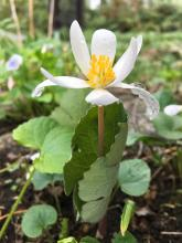 Bloodroot in Sudbury, photographed by Dawn Dentzer.