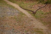 A red-tailed hawk after snatching a young turtle along a trail at Assabet River National Wildlife Refuge in Sudbury, photographed by Cynthia Pratt.