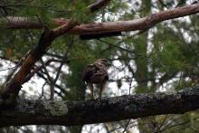 A red-tailed hawk at Assabet River National Wildlife Refuge in Sudbury, photographed by Cynthia Pratt.