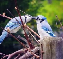 A blue jay in Northborough, photographed by Sandy Howard.