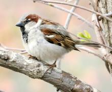 A house sparrow at Hager Pond in Marlborough, photographed by Steve Forman.