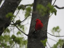A scarlet tanager in Stow.