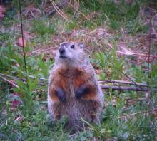 A woodchuck in Northborough, photographed by Sandy Howard.