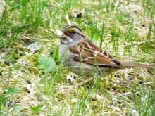 A white-throated sparrow in Harvard, photographed by Robin Right.