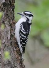 A downy woodpecker at Mass Audubon's Drumlin Farm Wildlife Sanctuary in Lincoln, photographed by Steve Forman.