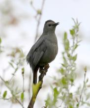A gray catbird at Mass Audubon's Waseeka Wildlife Sanctuary in Hopkinton, photographed by Steve Forman.