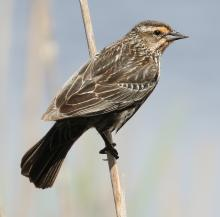 A red-winged blackbird in Concord, photographed by Steve Forman.