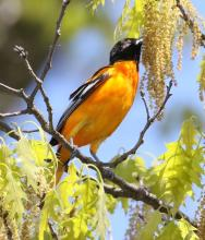 A Baltimore oriole at Hager Pond in Marlborough, photographed by Steve Forman.
