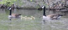 Canada geese at Grist Mill Pond in Sudbury, photographed by Steve Forman.