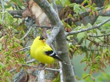 An American goldfinch in Concord, photographed by Terri Ackerman.