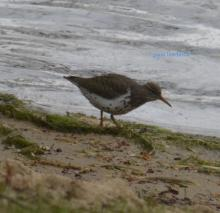 A spotted sandpiper in Marlborough, photographed by Ginny Hutchison.