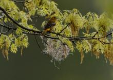 A Baltimore oriole nest in Lincoln, photographed by Ron McAdow.