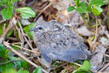 A mourning dove chick in Sudbury, photographed by Dawn Dentzer.